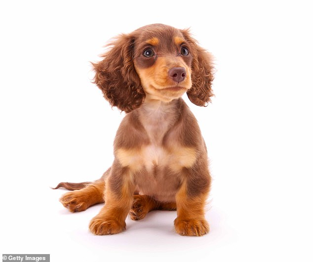 Dachshunds are an in-demand breed with their own health issues, according to the British Veterinary Association.'As the demand for them has continued to grow so too has the prevalence for spinal and neurological issues associated with elongated backs and shorter legs