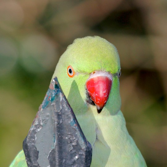 Embargoed to Thursday December 12 Undated handout photo issued by Tim Blackburn of a parakeet. Scientists believe they have busted the myths that the birds were introduced to the UK by Jimi Hendrix, or during the filming of a Humphrey Bogart film. PA Photo. Issue date: Thursday December 12, 2019. Using geographic profiling scientists mapped half a century of sightings of the bright green birds (Psittacula krameri). They found no evidence to support any of the myths surrounding the birds' origins in the UK, according to the study published in the Journal of Zoology. See PA story SCIENCE Parakeets. Photo credit should read: Tim Blackburn/PA Wire NOTE TO EDITORS: This handout photo may only be used in for editorial reporting purposes for the contemporaneous illustration of events, things or the people in the image or facts mentioned in the caption. Reuse of the picture may require further permission from the copyright holder.