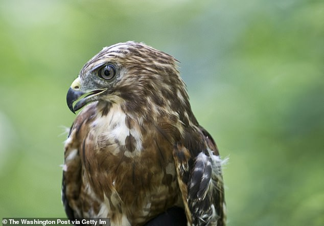 A member of the red-shouldered hawk species (pictured above) mated with a visiting common black hawk in Sonoma County to create a new hybrid chick, something that surprised researchers because the two hawks come from both a different genera and species