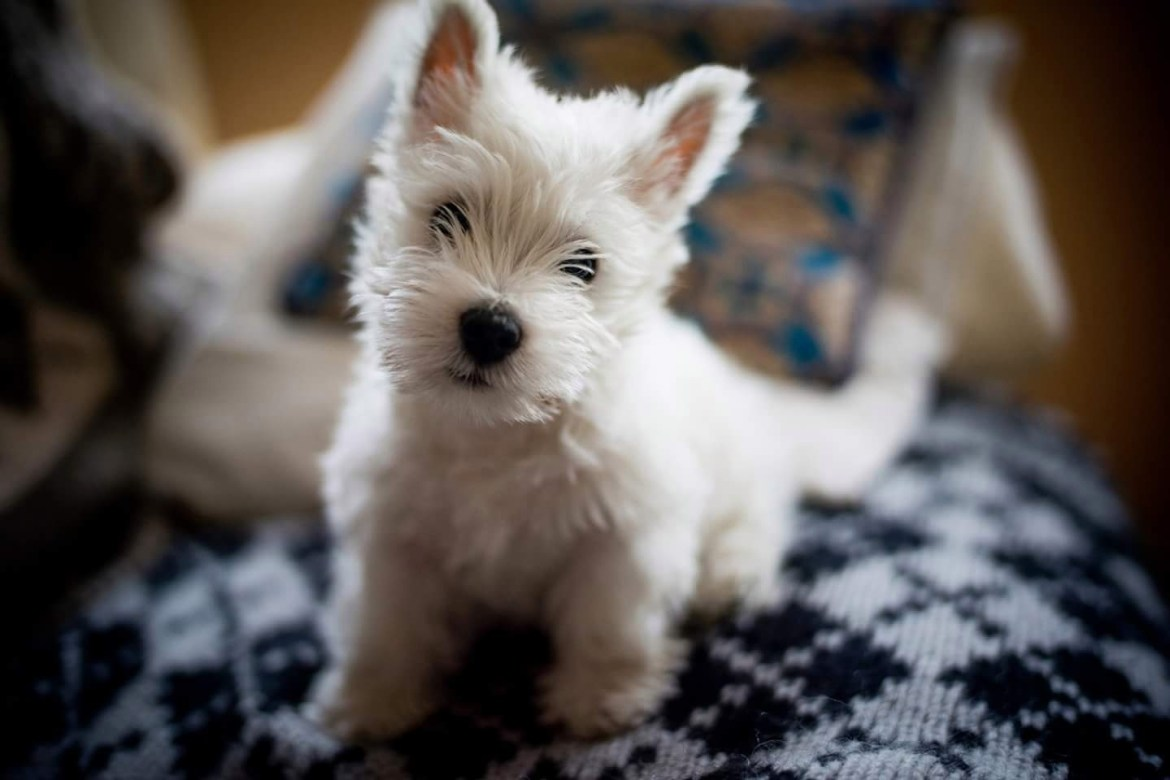 Sean answers a query from a worried Westie owner