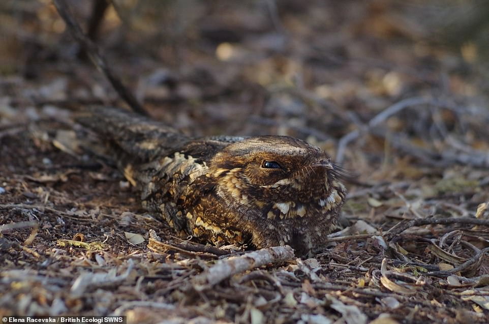 I see You - Elena Racevska. A Madagascan nightjar (Caprimulgus madagascariensis), having a daytime rest. Student winner Individuals and Populations