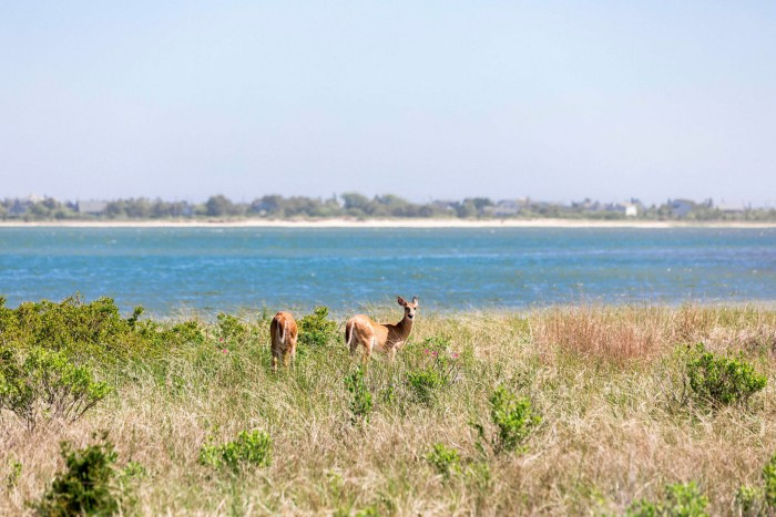 Wild deer near Napeague Bay