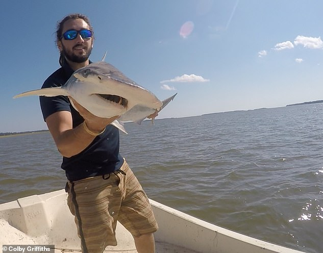 This image shows Bryan Keller of Florida State University holding a bonnethead shark. Twenty of these sharks were used in the study