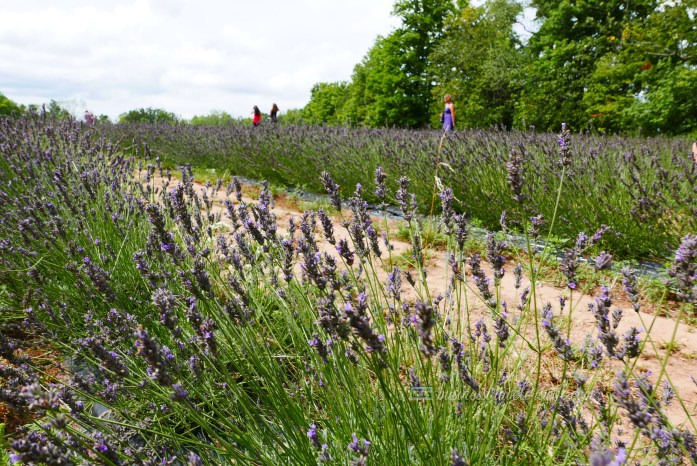 All Things Lovely at the Terre Bleu Lavender Farm Forest Trail