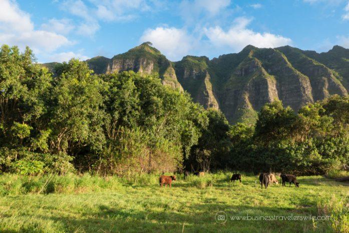 ATV Tour in Kualoa Ranch Oahu Meadows Cows (1 of 1)