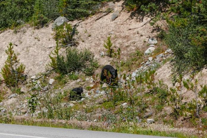 Scenic Summer Roadtrip to the Canadian Rockies Bear Wildlife