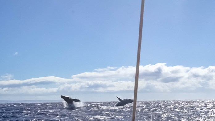 10 Things to Know Before You Go Whale Watching in Maui Hawaii Double Breach Humpback Whale