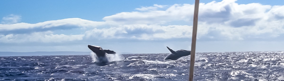 10 Things to Know Before You Go Whale Watching in Maui