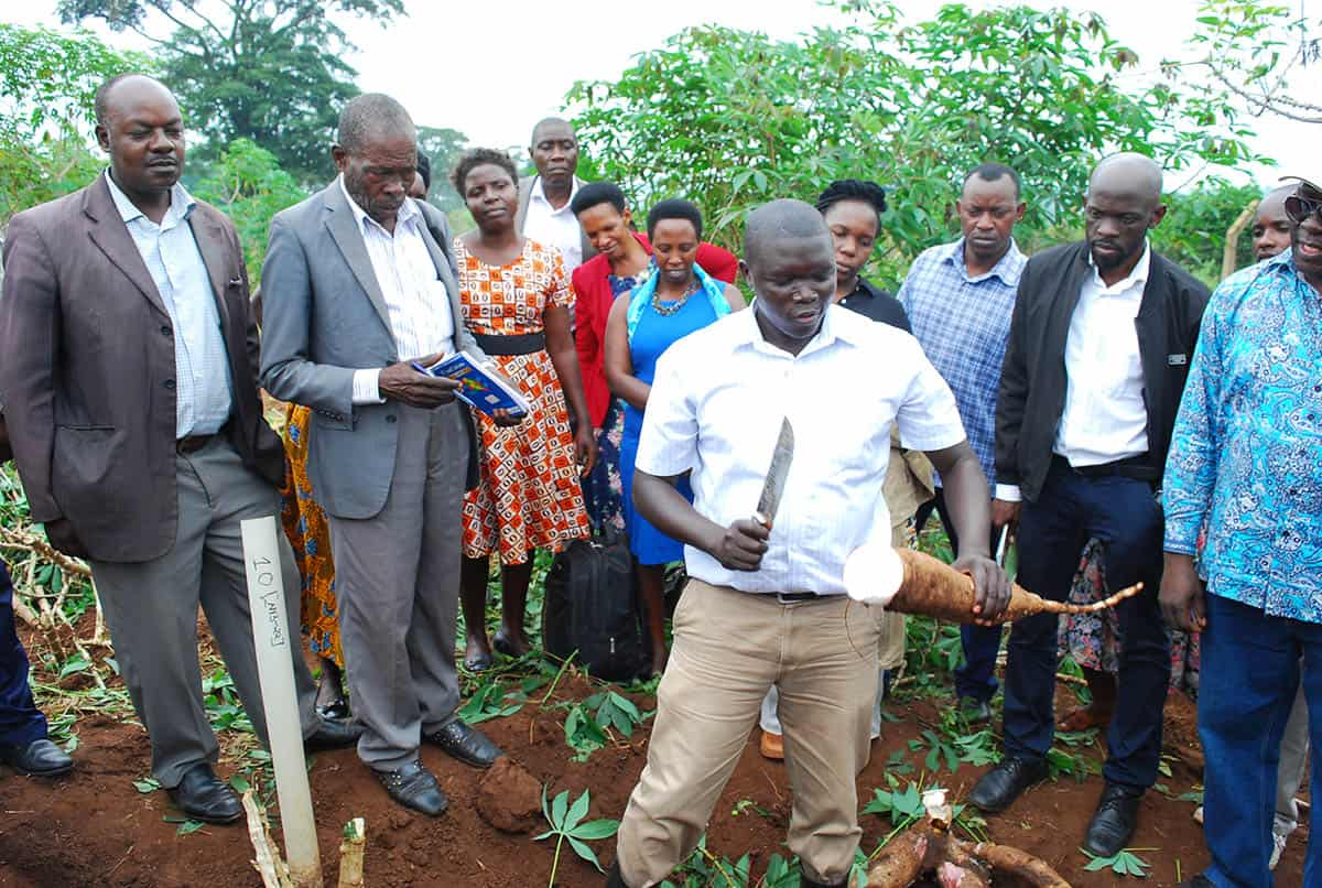 Jude Aleu. Trial Manager of GM cassava at NaCRRI showing how so clean the tuber from a GM cassava