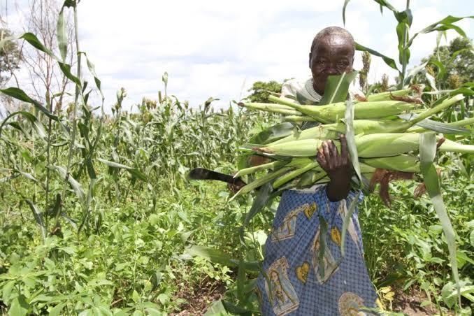 For the first time in history, farmers in South Sudan will be able to grow four different hybrid maize varieties customized for their country's environs.