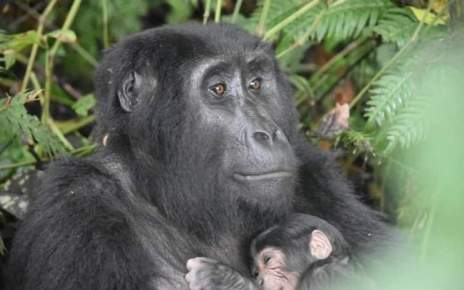Just when the country thought it had seen the last of the baby boomers for a while, a fifth gorilla birth was witnessed in Uganda when a baby mountain gorilla was born in Buhoma located in the northern sector of Bwindi Impenetrable Forest National Park in Southwestern Uganda.