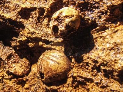 Fossili di riccio lungo lo scavo in frana verso il Buso della Rana (foto Sandro Sedran)