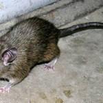 ネズミの駆除と退治&種類とその方法。超音波で簡単に、床下・天井・台所・米蔵まで!