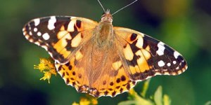 Painted Lady Butterfly, identification, size, host plants, distribution, photographs