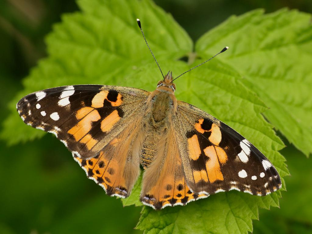Painted Lady Butterfly Identification Facts Lifespan