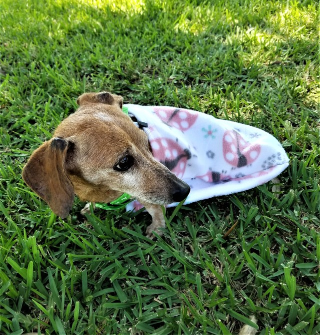 Dachshund wearing a handicapped pet dog drag bag with a ladybug decorative design.