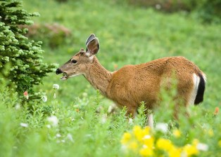 Deers in Buttes