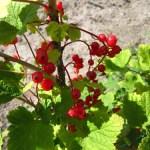 fruitstruiken 7