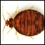 Bed Bugs PLR
