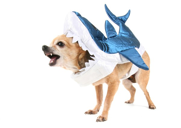 Chihuahua in a shark costume  sc 1 st  BuzzDog u2013 A Community For Dog Lovers & 10 Awesome Halloween Costume Ideas for Dogs u2013 BuzzDog