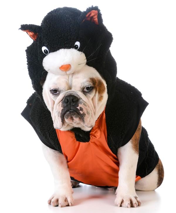 Bulldog dressed as a black cat