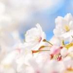 イラストレーター,桜,さくら,サクラ