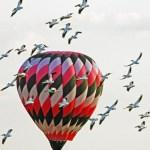 Hot air balloon and pelicans