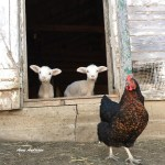 Goats and a rooster