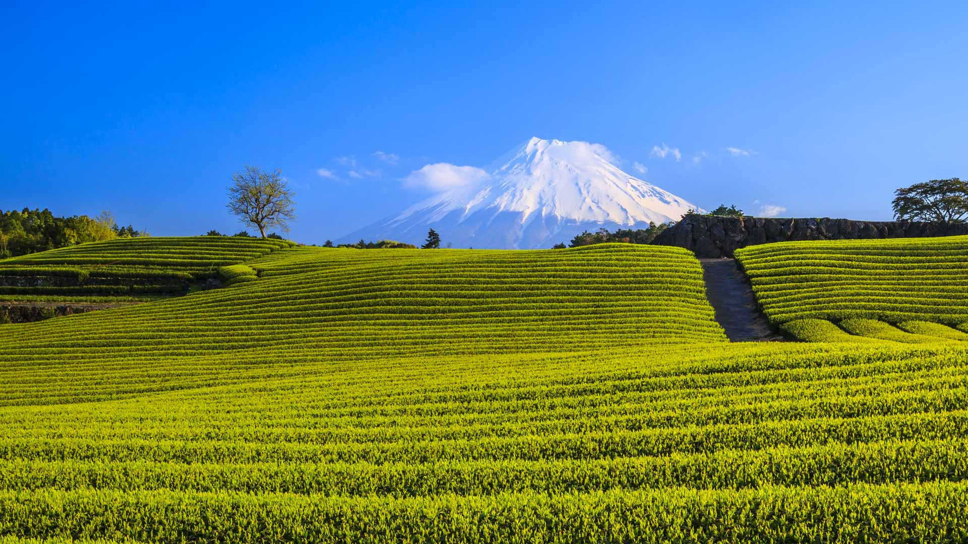 Green Tea Plantation And Mt Fuji Bing Wallpaper Download