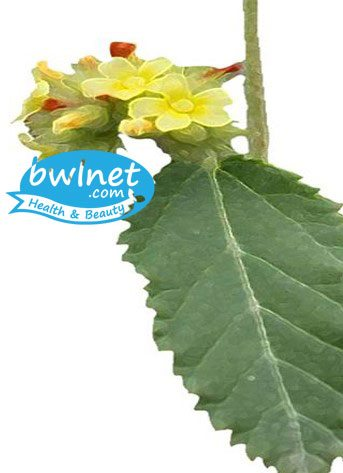 bwlnet-waltheria-indica-leaf-extract
