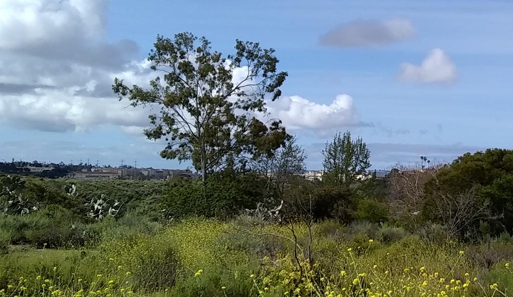 Hawk's Tree in Tecolote canyon