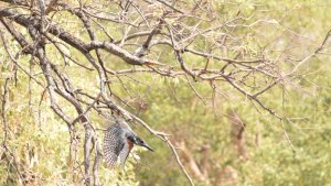 giant kingfisher, by life connected, koro river camp