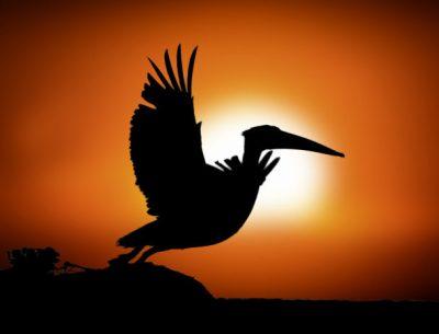 Pélican au coucher de soleil