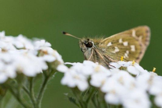 Papillon-Macro-la-Plagne