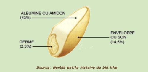 Schéma structure grain de blé