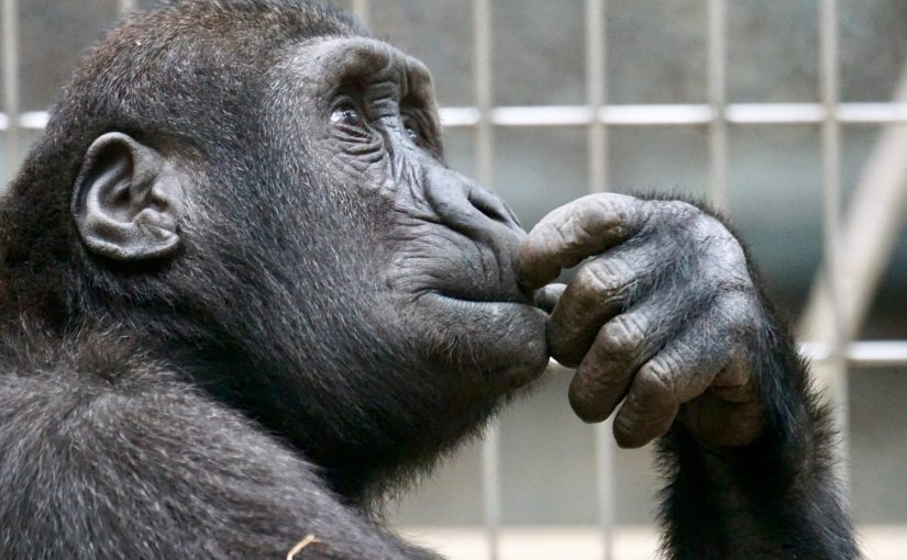 """A picture of a primate in the thinking posture from Nick Byrd's """"Is Reflective Reasoning Supposed To Change My Mind?"""""""