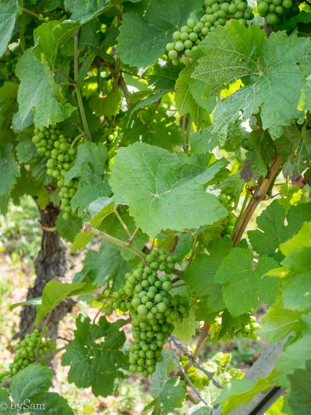 Wijngaarden Alsace