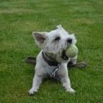 犬おもちゃ噛む