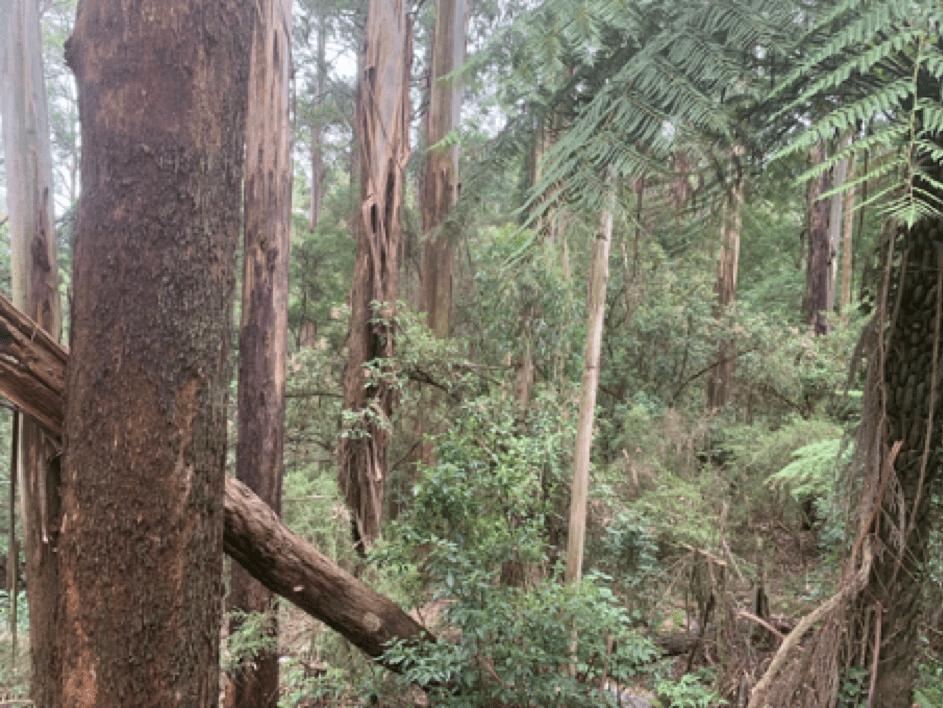 Neunzig Prozent der Wälder blieben unversehrt (Ferny Creek, Dandenongs, Victoria)