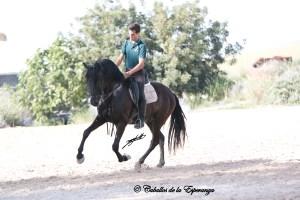 Cartujano, 7yo, PRE/Andalusian, Sold