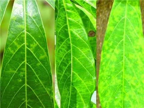 Tertiary vein chlorosis of cassava leaves caused by CBSD