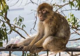 Monkeys of Gibraltar (6 of 17)