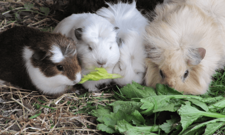 can guinea pigs eat celery green
