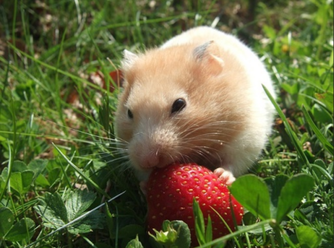 can guinea pigs eat dried strawberries
