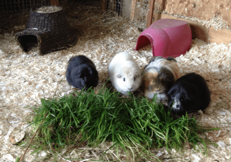 can guinea pigs eat green celery