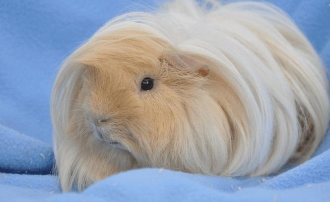 guinea pig peruvian dish