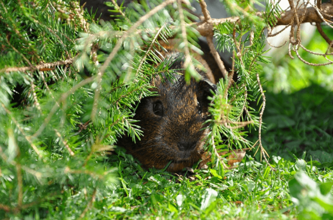 how long do guinea pigs live in the wild