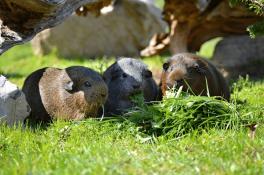 how long do guinea pigs usually live