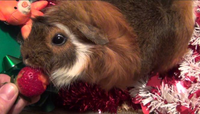 my cute guinea pig eat strawberry