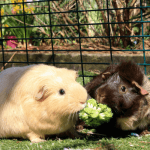 Can Guinea Pigs Eat Broccoli? What are the Benefits of Broccoli?